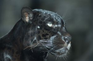 blackjaguar